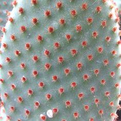 Velvety spots on cacti!