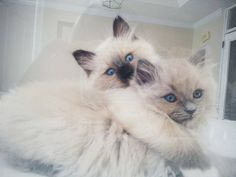 The darker Ragdoll boy on top is a Seal Mitted and the girl is a Blue Mink Point