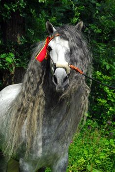 andalusian | Andalusian Spanish Pre Horses Photo, Detailed about Andalusian Spanish ...