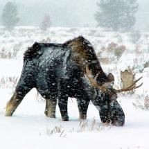Male bull Moose foraging in the winter snow.