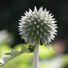 Feed the Birds - Flowers with Seeds that Birds Love: Globe Thistle