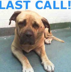 MAMBO (A1683719)I am a male tan and black Mastiff mix.  The shelter staff think I am about 2 years old and I weigh 84 pounds.  I was found as a stray and I may be available for adoption on 03/10/2015. — hier: Miami Dade County Animal Services. https://www.facebook.com/urgentdogsofmiami/photos/pb.191859757515102.-2207520000.1425684368./938617212839349/?type=3&theater