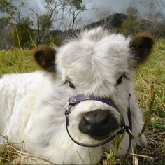 23 Mini Cow Pictures you've never seen before - meowlogy Cute Baby Cow, Baby Cows, Cute Cows, Baby Elephants, Cute Little Animals, Cute Funny Animals, Cute Animal Photos, Animal Pictures, Cow Pictures