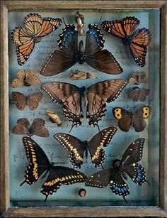 butterfly & moth collection