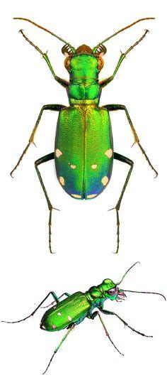 Cicindela sexguttata, Tiger Beetle - very good flyer with good eyesight