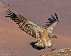 #Vulture #BirdsofPrey