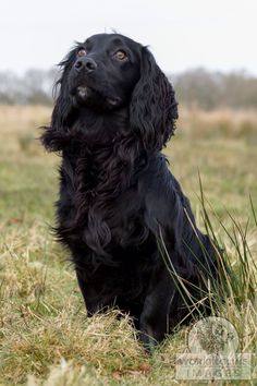 Lovely cocker spaniel by workingline images.