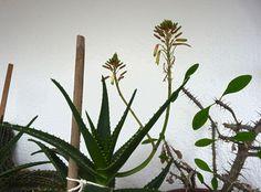 Foto Blogu lu' Fredi – Mai multe poze, mai puţine vorbe Aloe Vera, Plants, Pictures, Flowers, Plant, Planets