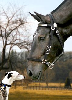 Friends? Nose to nose, horse & whippet spirit animals