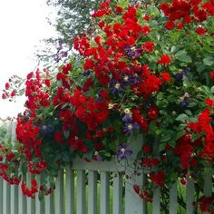 Only red, white and blue flowers :-) Awesome idea - mix in passion vines with the roses. Grab some of these next time we go to FL. Beautiful Flowers Images, Pretty Flowers, White And Blue Flowers, Red And White, Country Fences, Red Cottage, My Secret Garden, Colorful Garden, Garden Gates