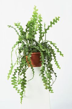 9 Striking Succulent Houseplants to Grow Succulents are low maintenance, trendy and some are quite unusual. Check out the top succulent varieties for houseplants. Cacti And Succulents, Planting Succulents, Cactus Plants, Garden Plants, Indoor Plants, Planting Flowers, Indoor Cactus, Cactus Art, Air Plants