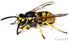 What is the Difference Between Hornets, Yellowjackets and Wasps?