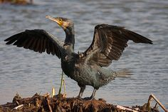 Corvo-marinho-de-faces-brancas / Great cormorant | Flickr - Photo Sharing!
