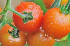 How to grow tomatoes: helpful hints. Here are some handy hints to help you grow tomatoes that have tasty fruits for as long as possible. Growing Tomatoes, Growing Plants, Blossom End Rot Tomatoes, Tomato Fertilizer, Gourmet Salad, Indoor Garden, Compost, Helpful Hints, The Cure