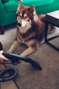 Clean household with dog, animal hair vacuum cleaner, animal hair vacuum cleaner in the tes Snow Dogs, Beautiful Dogs, Husky, Cute Animals, Kitty, Puppies, Pets, Pictures, Tricks