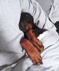 The Doberman Pinscher is among the most popular breed of dogs in the world. Known for its intelligence and loyalty, the Pinscher is both a police- favorite Animals And Pets, Baby Animals, Cute Animals, Chien Dobermann, I Love Dogs, Cute Dogs, Black And Tan Terrier, Doberman Love, Blue Doberman