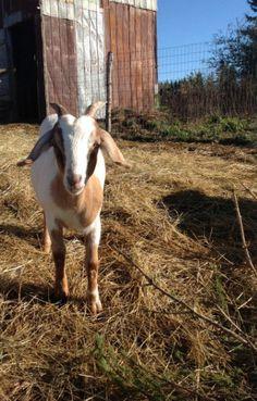 .Inquisitive goat!