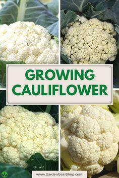 Growing Cauliflower, Gardening For Beginners, Gardening Tips, Garden Yard Ideas, Square Foot Gardening, Garden Guide, How To Grow Taller, Fruit Garden