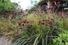 Aquilegia Ruby Port with evergreen grass Anemanthele lessoniana (Stipa arundinacea)