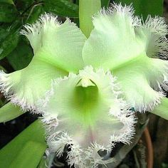 Hd Flowers, Flowers Nature, Exotic Flowers, Green Flowers, Beautiful Flowers, Orchid Leaves, Plant Leaves, Garden Plants, House Plants