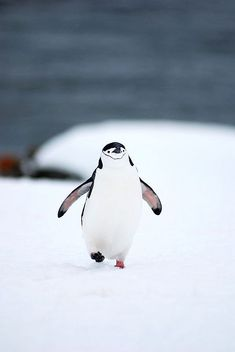 I've never seen a happier #penguin in my life.