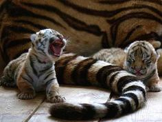 Baby Tigers, Cute Tigers, Tiger Cubs, Baby Cubs, Tiger Tiger, Baby Lions, Animal Quotes, Animal Memes, Animal Captions