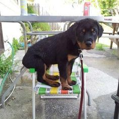 Rotweiller puppy, they love to sit on stuff