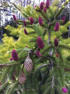 Norway spruce 'Acrocona.' (Picea abies 'Acrocona')