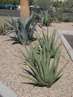How to Plant Cactus Landscapes   Aloe Vera and Agave Plants with a gravel topping