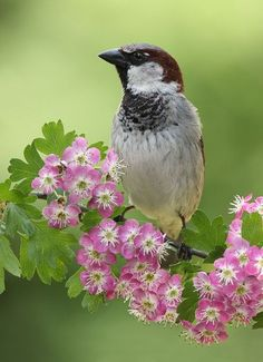 Steve Mackay | Sparrow on Pink Hawthorn