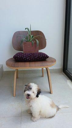 Pato #puppy #bichonhabanero #mylove #socute #sosmart #beautiful #sweet #handsome