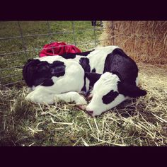Sleepy baby cow Barnyard Animals, Cute Animals, Country Life, Country Living, Sweet Cow, Baby Cows, Cute Cows, Down On The Farm, Gentle Giant