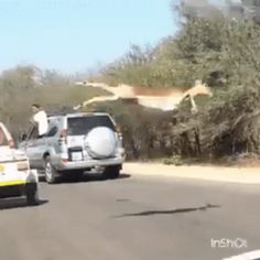 It is better to wait until these animals cross the road