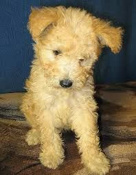 pumi puppies - Google Search
