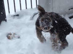 Blue (Airedale Terrier) loving the snow