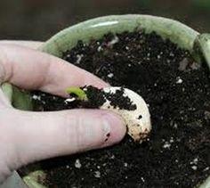 Como plantar alhos. Todos sabemos que o alho é um dos alimentos mais utilizados na dieta mediterrânea, o que poderá não saber é que é uma das plantas mais fáceis de plantar na sua horta ou jardim. O alho praticamente não...