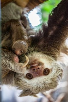 Baby sloth and momma sloth upside down being cute