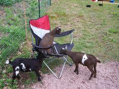 Raising and showing Nigerian Dwarf Goats......