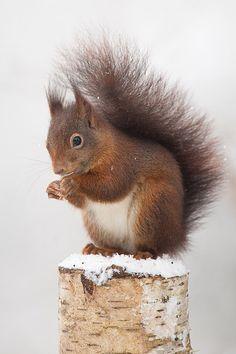 Eekhoorn in de sneeuw Woodland Creatures, Woodland Animals, Nature Pictures, Animal Pictures, Cute Baby Animals, Funny Animals, Scottish Animals, Cute Squirrel, Squirrels