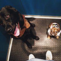 My bulldog french and my Labrador