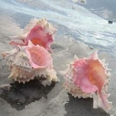 pink and white shells