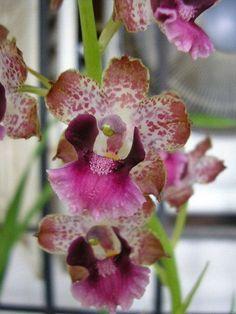 Cyrtopodium Brandonianum | Cyrtopodium brandonianum | Orchidées à travers le monde | Pinterest