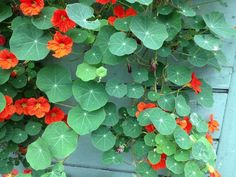 Nasturtiums (?) from Ted Kennedy Watson