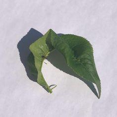 By kleintiereonline.de. .  Kaum sind die Temperaturen über 15 Grad und sind feine Blättchen als Anzapfstellen vorhanden, da geht es los mit dem Blattläusebefall. Was soll man machen, den wenigen Blattläusen auch etwas gönnen? . . Das wäre der falsche Weg. Wer früh eingreift, braucht auch weniger an Pflanzenschutzmittel. . #blattläuse #pflanzenschutzmittel #pflanzenschädlinge #ungeziefer #schadschwelle blattläusegenerationen #blatthinweis #ameisen #triebe #jungläuse #bekämpfungsmittel… Grad, Plant Leaves, Instagram, Plants, Ant, Lawn And Garden, Plant, Planets