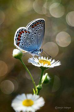 Daisy and butterfly Beautiful Bugs, Beautiful Butterflies, Beautiful Flowers, Butterfly Wallpaper, Butterfly Flowers, Blue Butterfly, Beautiful Creatures, Animals Beautiful, Types Of Butterflies