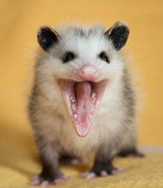 Wally the Opossum