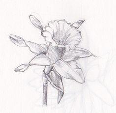 Daffodil Flower Drawing | Daffodil | Flickr - Photo Sharing!