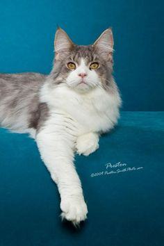 The Maine Coon is a definite favorite of the Perfect Litter Team. Such a loving and playful cat...