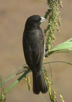 Foto papa-capim-de-costas-cinzas (Sporophila ardesiaca) por Evandro Santos | Wiki Aves - A Enciclopédia das Aves do Brasil