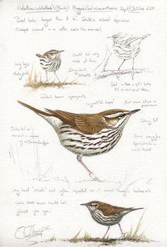 Northern Waterthrush 03.10.15---One of the first birds to visit my kitchen window feeder.